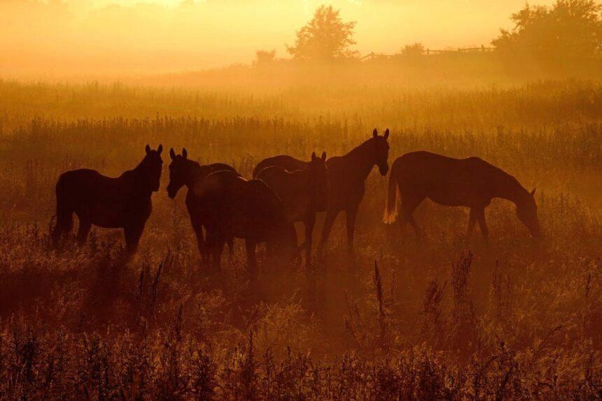 Idyll am frühen Morgen: Ein Gefühl von Ruhe und Frieden verströmen diese Pferde auf der Weide.